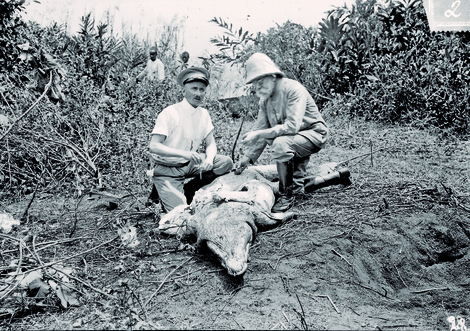 Searching for the sleeping sickness pathogen: Robert Koch and Friedrich Karl Kleine dissect a crocodile on the Ssese Islands, 1906. Source: RKI