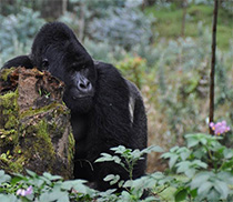 Ebola virus disease (EVD) also threatens the survival of African great apes. Source: RKI