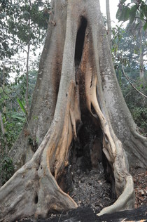 The burnt hollow tree in Guinea where scientists have found DNA of the bat species Mops condylurus and therefore narrowed down the wildlife origins of the EVD outbreakt in West Africa 2014. © EMBO Molecular Medicine January 2015