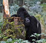Ebola in great apes – current knowledge, possibilities for vaccination, and implications for conservation and human health (Mammal Review, 5.12.2016)