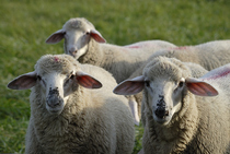 Beside sheep goats and cattle are affected by the Schmallenberg virus as well. Source: © murxxx/Clipdealer.com