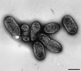 Yersinia pestis, cluster of bacteria. Transmission-electron microscopy, negative staining. Bar = 1 μm. Source: RKI