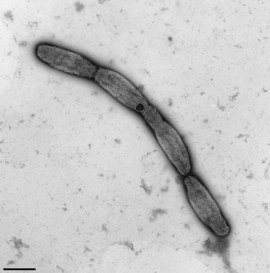 Burkholderia mallei, amastigote bacteria (chain forming). Transmission electron microscopy, negative staining. Bar = 1 μm. Source: RKI