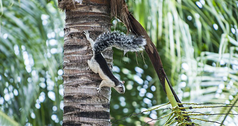Hörnchen auf einer Palme; White and Black Variegated Tree Squirrel in a coconut palm tree in Costa Rica. © mylitleye / Fotolia.com